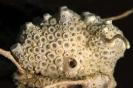 tunicates_5