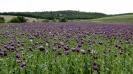 Papaver field-Denizli - Turkey