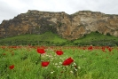 Poppies by the Raman Mountain - Turkey