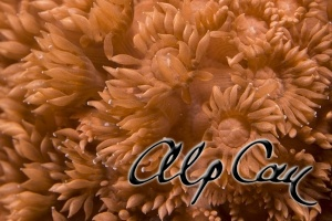soft coral_9